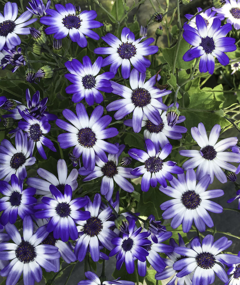 Cineraria flower Abundance Beauty In Nature Blooming Blossom Blue Cineraria Close-up Day Flower Flower Head Focus On Foreground Fragility Freshness Full Frame Growth In Bloom Nature No People Outdoors Petal Plant Pollen Purple