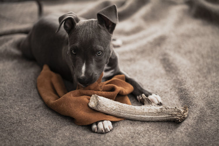 A pit bull rescue puppy plays and falls asleep in bed Baby Bed Morning Pillow Precious Antler Asleep Blankets Close-up Companion Day Desaturated Dog Domestic Animals Gray Grey Indoors  Kerry Estey Keith One Animal Pets Pitbull Puppy Simple Sleeping Staffordshire Bull Terrier