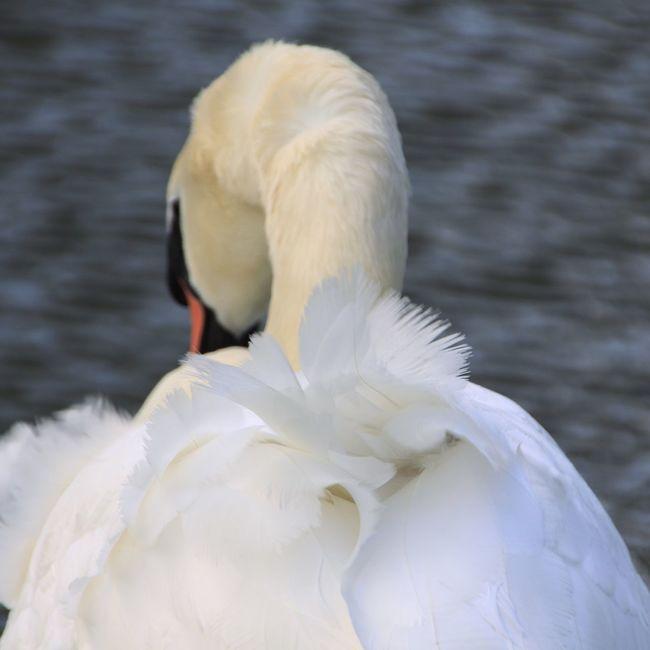 Swan EyeEm Nature Lover We Are Photography, We Are EyeEm Eye4black&white  EyeEm Best Shots