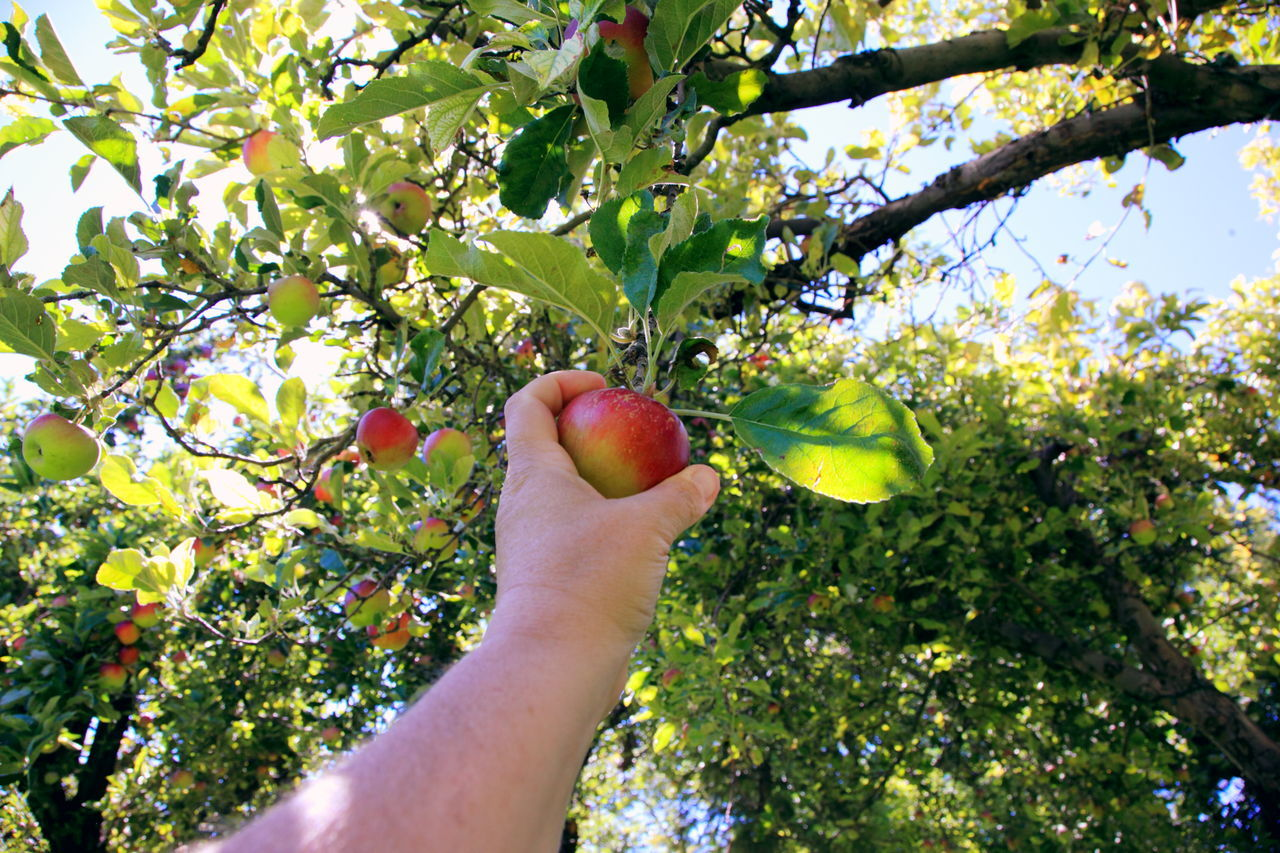 Apple - Fruit Beauty In Nature Branch Day Food Food And Drink Freshness Fruit Growth Healthy Eating Holding Human Body Part Human Hand Leaf Nature One Person Outdoors People Picking Real People Ripe Tree