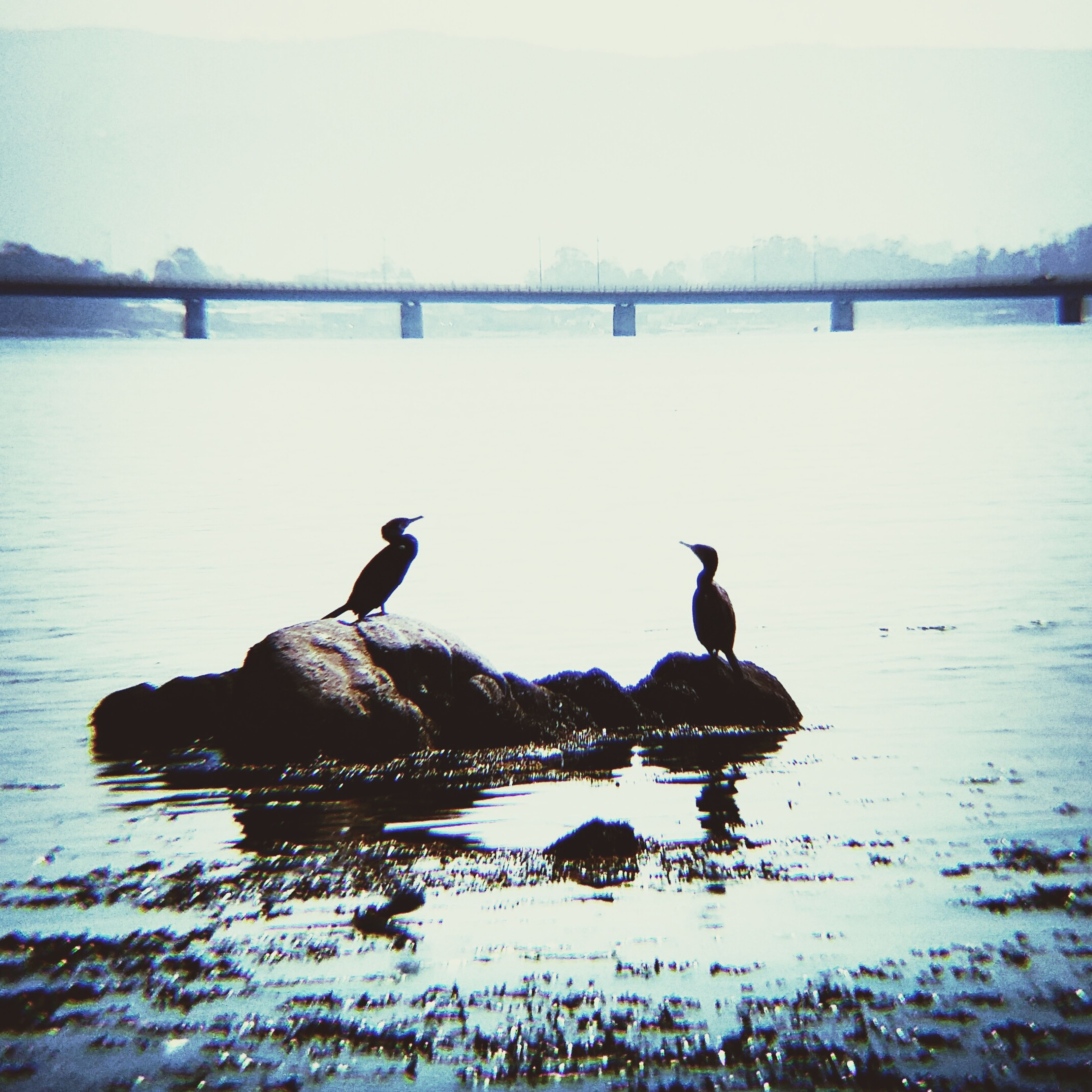 bird, water, animal themes, animals in the wild, wildlife, lake, reflection, nature, duck, waterfront, swimming, perching, tranquility, beauty in nature, tranquil scene, water bird, swan, two animals, clear sky, silhouette