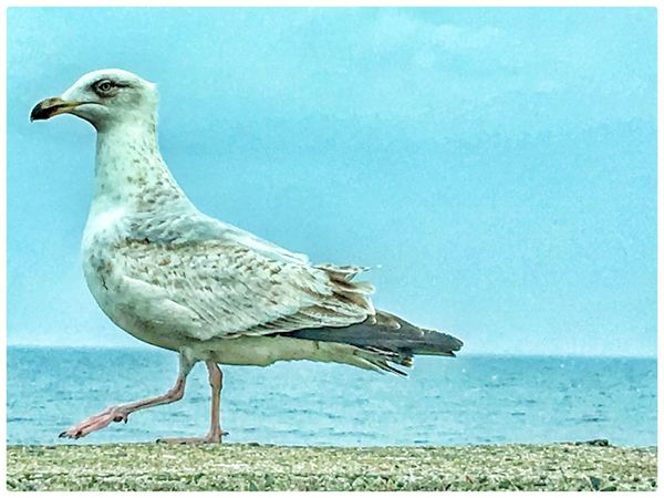 Bird One Animal Animal Themes Animals In The Wild Sea Day Outdoors Nature Animal Wildlife Side View Clear Sky Perching No People Beauty In Nature Full Length Close-up Sky Water Horizon Over Water seagull,