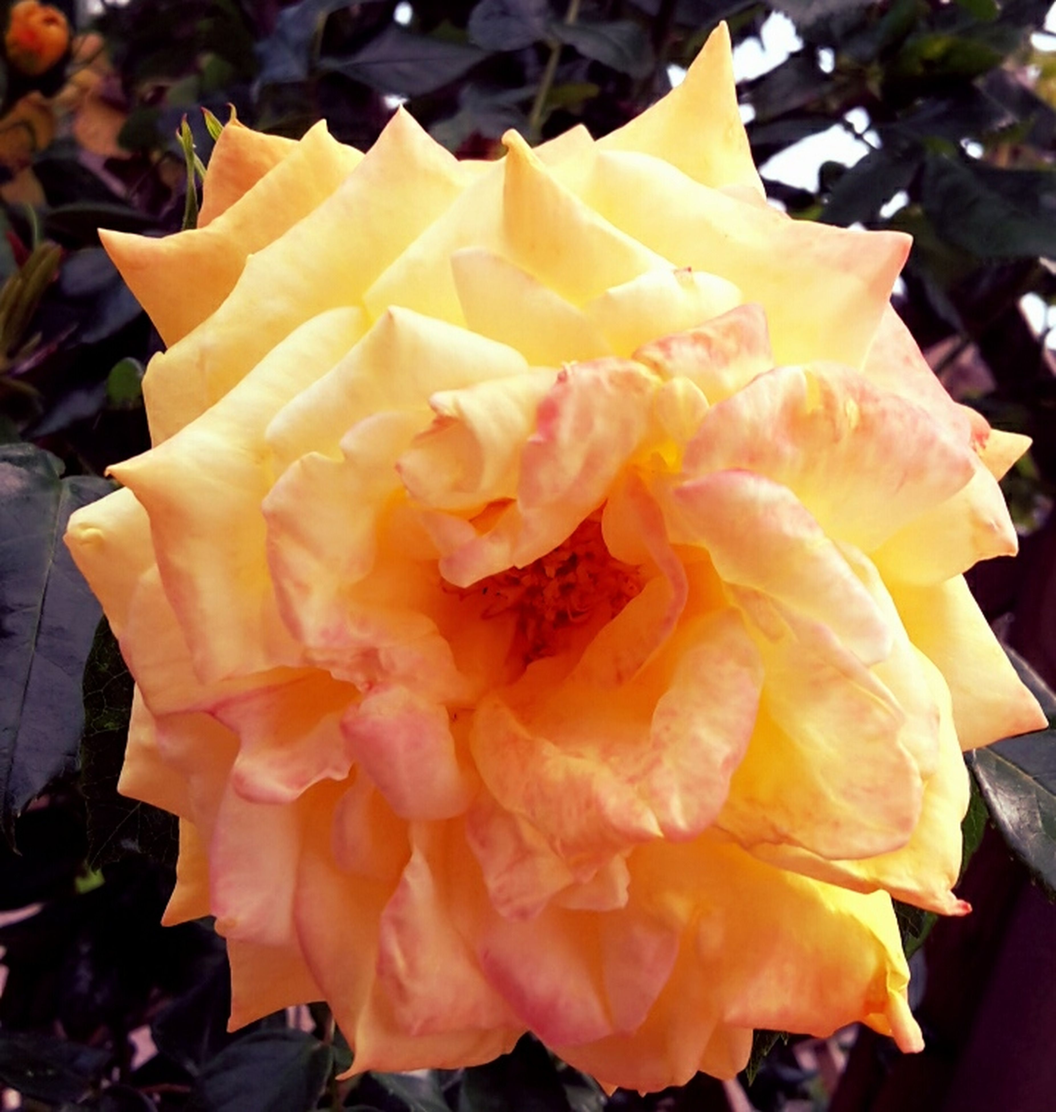 petal, flower, flower head, fragility, freshness, close-up, beauty in nature, yellow, rose - flower, blooming, single flower, nature, focus on foreground, growth, orange color, vibrant color, in bloom, no people, plant, outdoors