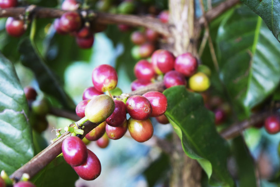 Beauty In Nature Branch Close-up Day Focus On Foreground Food Food And Drink Freshness Fruit Green Color Growing Growth Leaf Nature No People Outdoors Plant Raw Coffee Bean Red Tree Twig