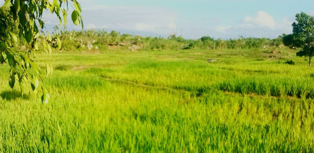 Ricefield Province missing this.. Philippines Homesick :(
