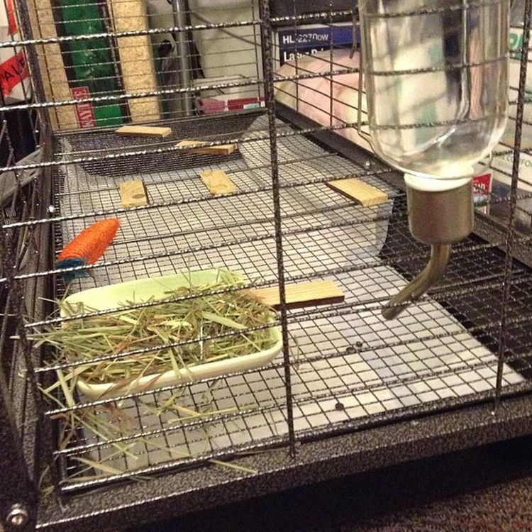 Yay! Finally a proper cage for my precious babies.. Thumper Cinnabon Furrysnowball Bugs Bobby 🐰🐰