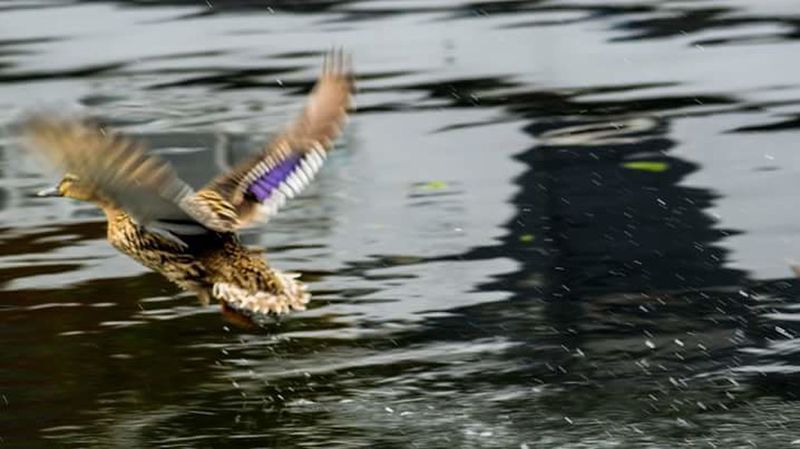 Bird Spread Wings Flying Animal Wildlife One Animal Water Flapping Duck Canal