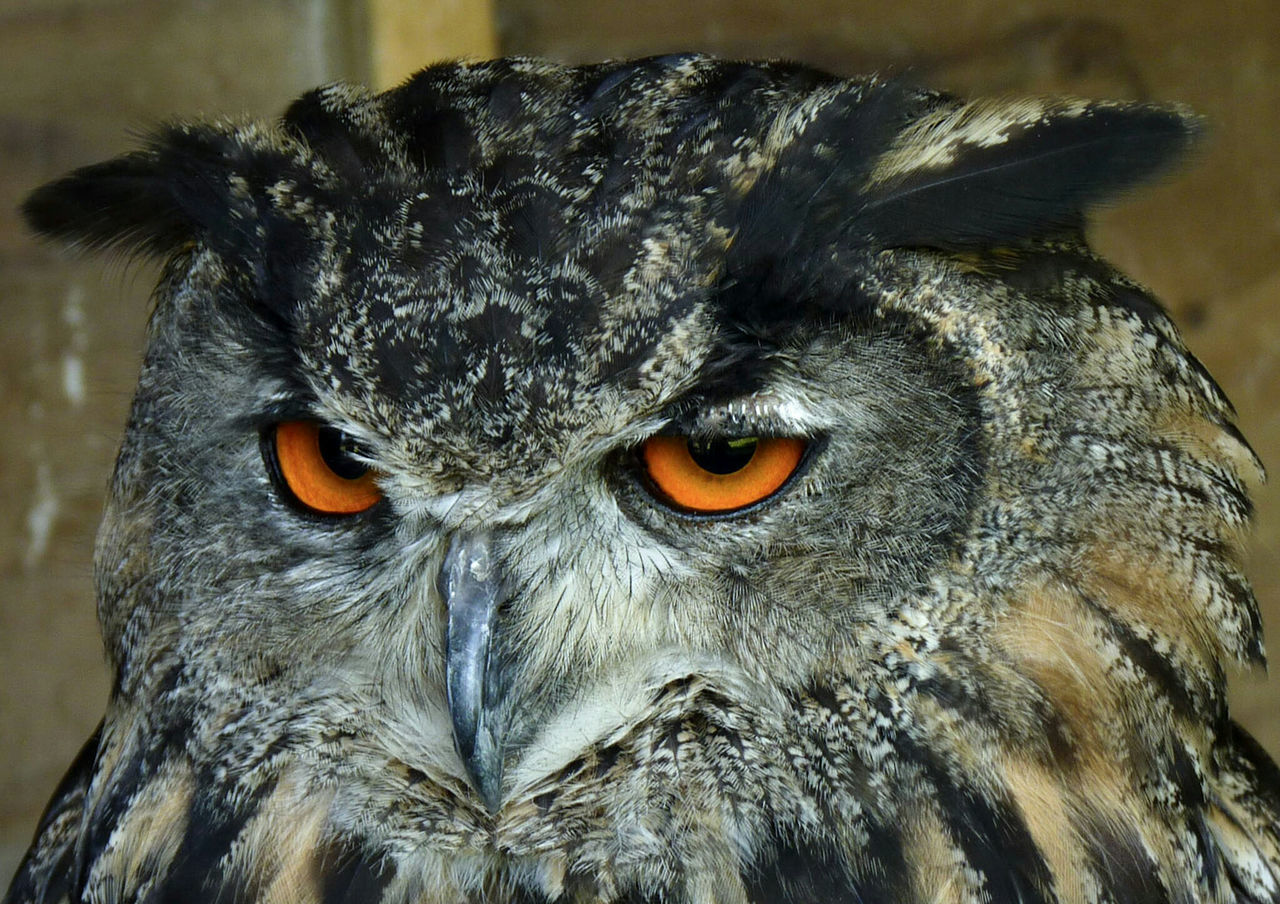 Owl Owl Eyes Bird Of Prey Feathers Eyes I'm Watching You Birds Of EyeEm  Birds_collection Animal Themes BirdEyeEm Nature Lover Animals Beak Eye4photography  Owls Getting Inspired EyeEm Best Shots