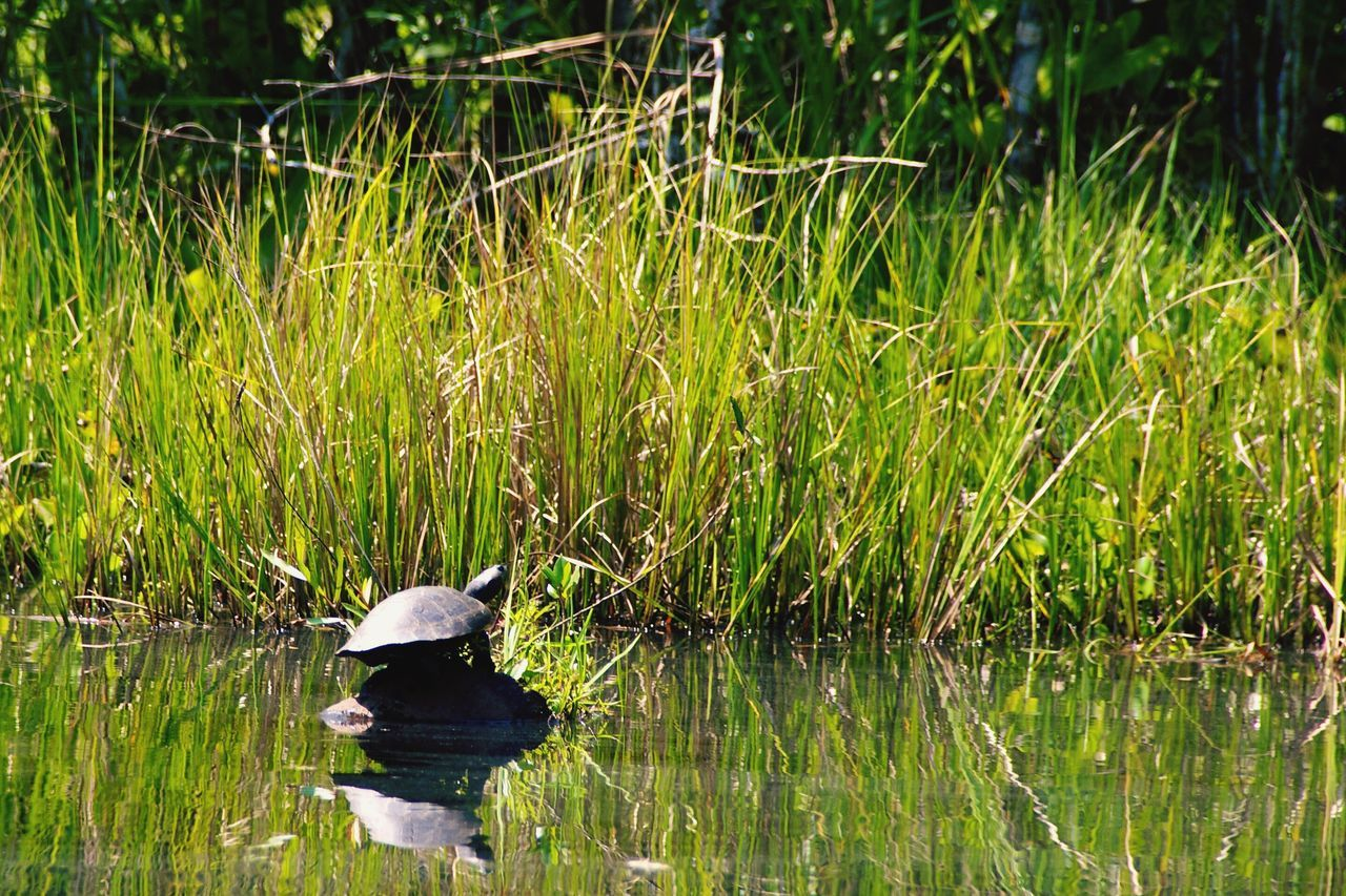 animal themes, grass, nature, one animal, lake, animals in the wild, growth, water, reflection, bird, green color, day, plant, outdoors, no people, beauty in nature, waterfront, animal wildlife, swimming