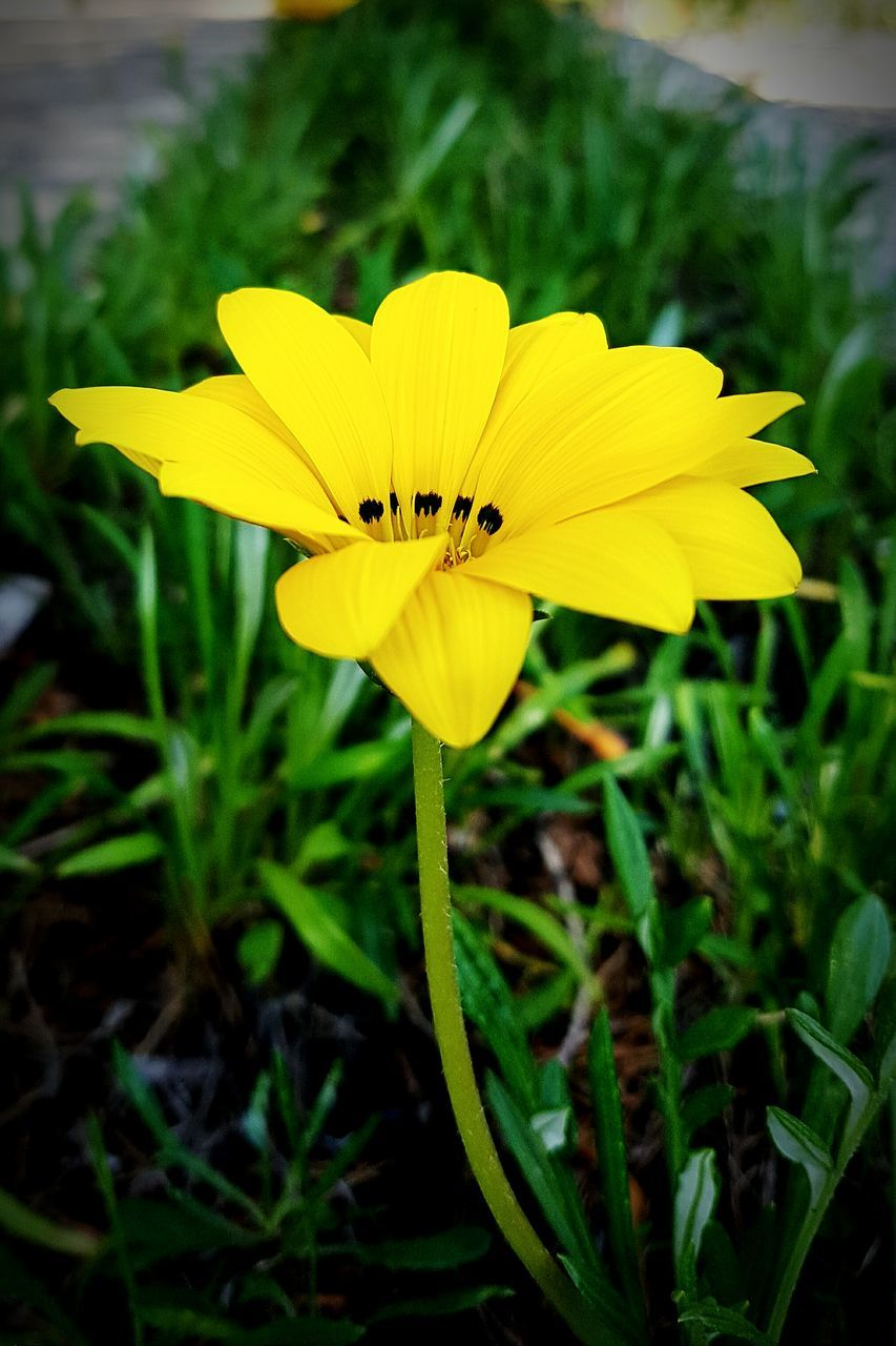flower, yellow, petal, fragility, flower head, beauty in nature, growth, nature, freshness, plant, blooming, outdoors, day, close-up, no people, black-eyed susan, crocus