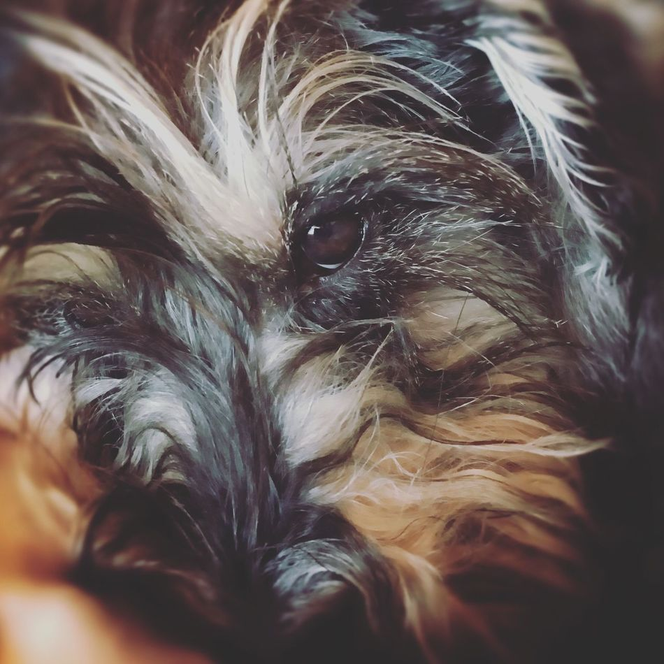 Snauzer Pets Domestic Animals Doggy Perro