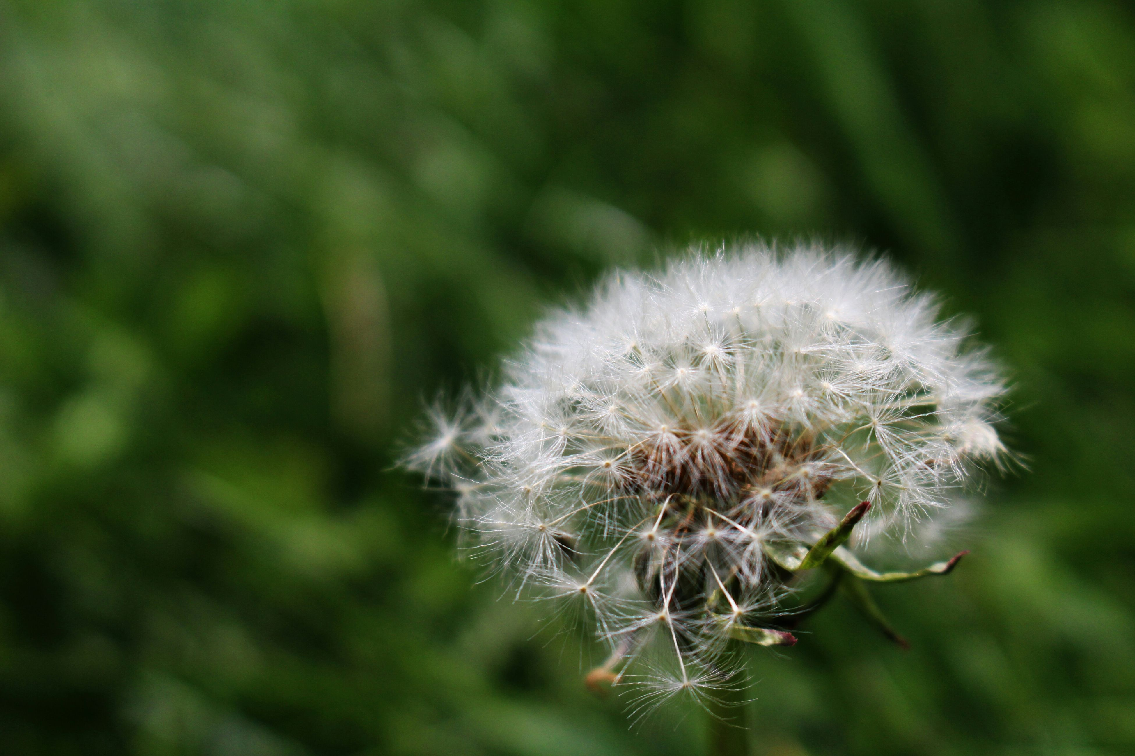 dandelion, flower, fragility, growth, focus on foreground, close-up, freshness, flower head, nature, beauty in nature, plant, softness, single flower, stem, wildflower, uncultivated, selective focus, dandelion seed, seed, day