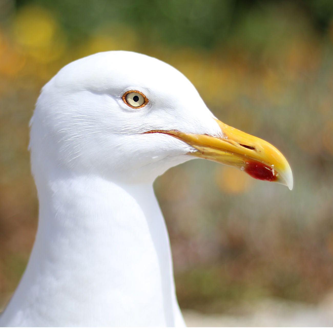 Gull Portrait Animal Themes Animal Wildlife Animals In The Wild Beak Bird Close-up Day Focus On Foreground Nature No People One Animal Outdoors