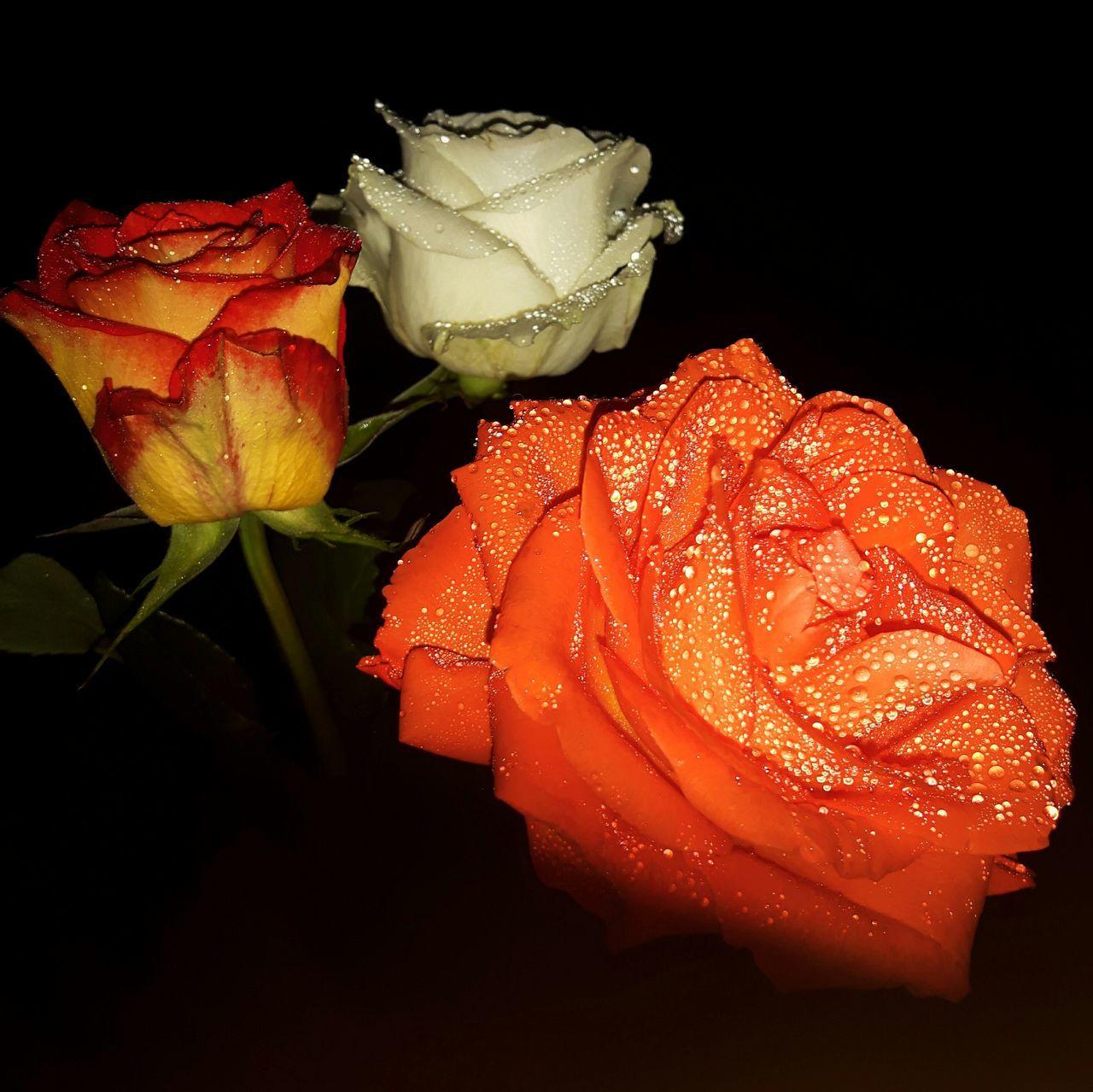 Good Night 🌙 Flower Rose - Flower Flower Head Plant Nature Night Beauty In Nature Blumenpracht🌺🍃 Roses🌹 Rosen Germany🇩🇪 EyeEm Best Shots Beliebte Fotos Germany Photos Official EyeEm © GERMANY🇩🇪DEUTSCHERLAND@ Beauty In Nature Day Nature Plant Blumenfotografie Beatiful Rose🌹 Roses Flowers  Flowerphotography Natural Beauty
