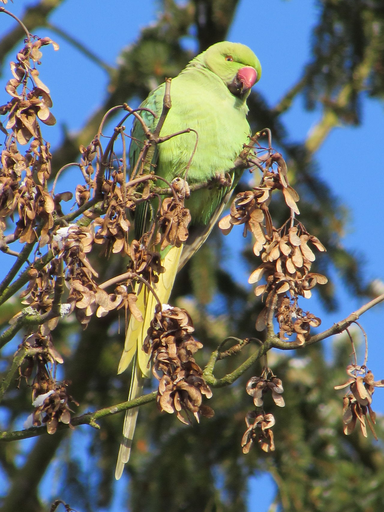 Another shot of our beautiful city parakeets Adapted To The City Animal Themes Animals In The Wild Beauty In Nature Bird Bird Photography Birds Branch Close-up Day Eye4photography  EyeEm Nature Lover Leaf Nature One Animal Outdoors Perching Sky Taking Photos Tree Walking Around