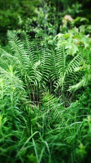 Giant Fern Greenery Lush Foliage Dinosaurs Pure Beauty