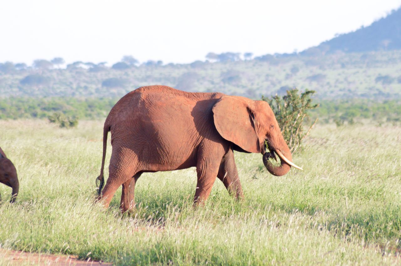 animal themes, grass, mammal, animals in the wild, one animal, field, elephant, nature, day, animal wildlife, safari animals, landscape, no people, side view, outdoors, tree, grazing, beauty in nature, tusk, full length, african elephant, sky
