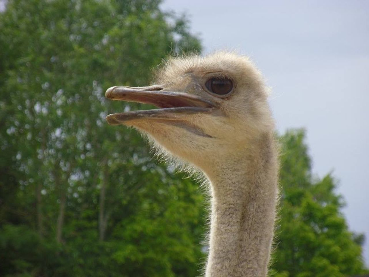 bird, animal themes, one animal, animals in the wild, ostrich, beak, day, animal wildlife, focus on foreground, close-up, no people, outdoors, nature