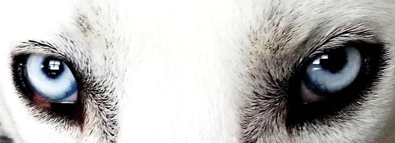 Animal Body Part Eye Pets Animal Head  Animal Themes Close-up One Animal Looking At Camera Domestic Animals Eyeball Huskiesrule Dogslife Dogs Of EyeEm Animal Head  Huskylovers Huskey EyeEm Selects Animal Dog Looking At Camera No People