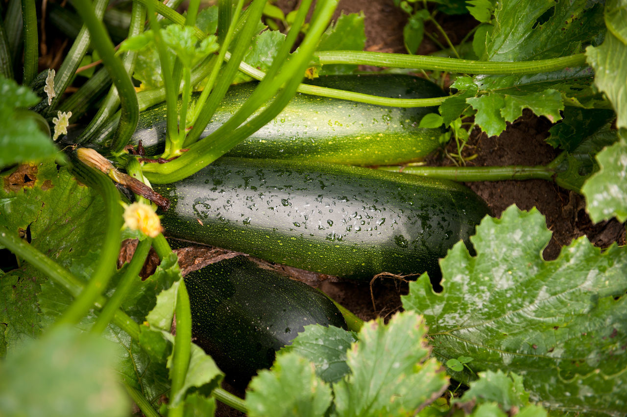 Zucchini or courgette vegetables grow in ground, detail of fresh growing plant with stem and green leaves in Poland, rain drops on vegetables in rainy day, nobody, horizontal orientation. Courgette Cucurbita Cucurbita Pepo Cultivate Food Fruit Fruits Fruits And Vegetables Giromontiina Green Greenery Growing Growth Growth Horticulture Marrow Nature No People Pepo Plant Plants Vegetable Vegetables Zucchini Zucchini Plant