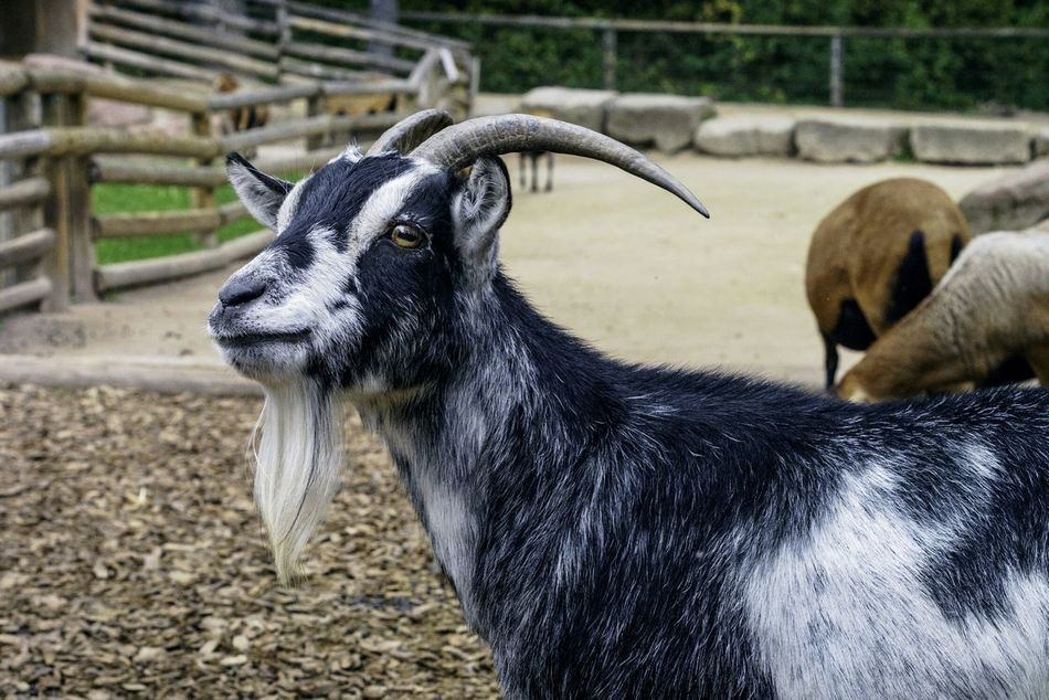 Beautiful stock photos of goat, Animal Themes, Day, Domestic Animals, Field