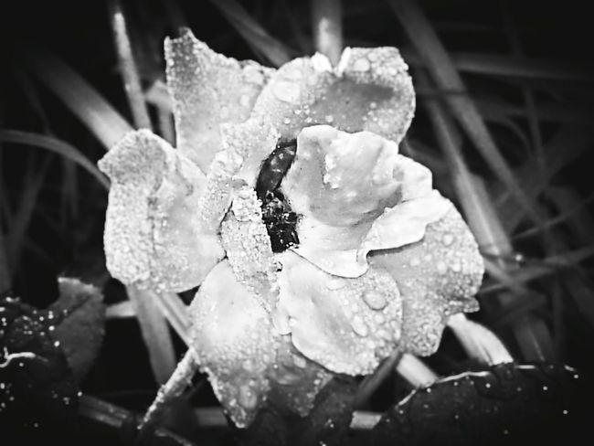 Shades Of Grey Rosephotography Rose🌹 Blackandwhitephotography Black And White Beautifull Copyright© Beautifulrose Flower Flowerphotography