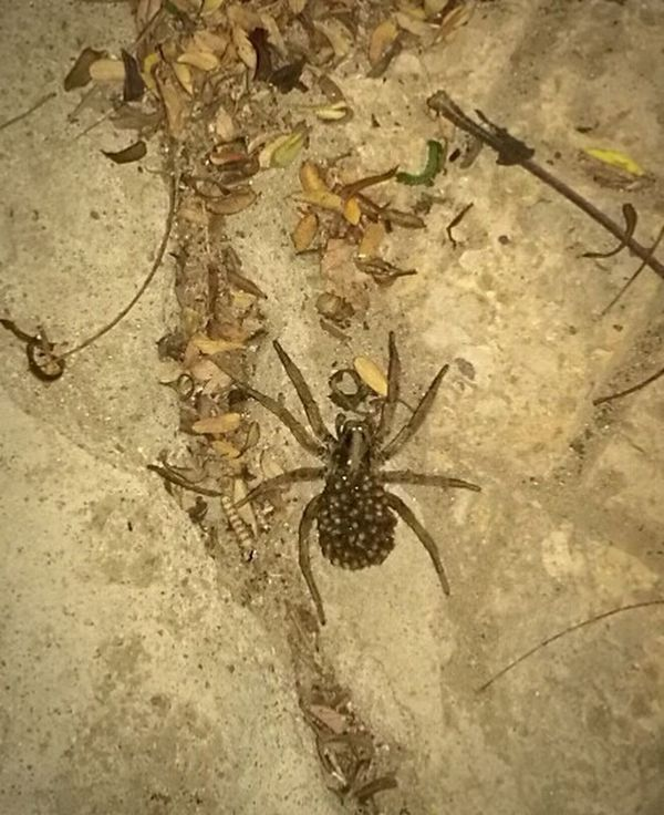 Huge Spider Outdoors Nature Insect Subhan'Allah