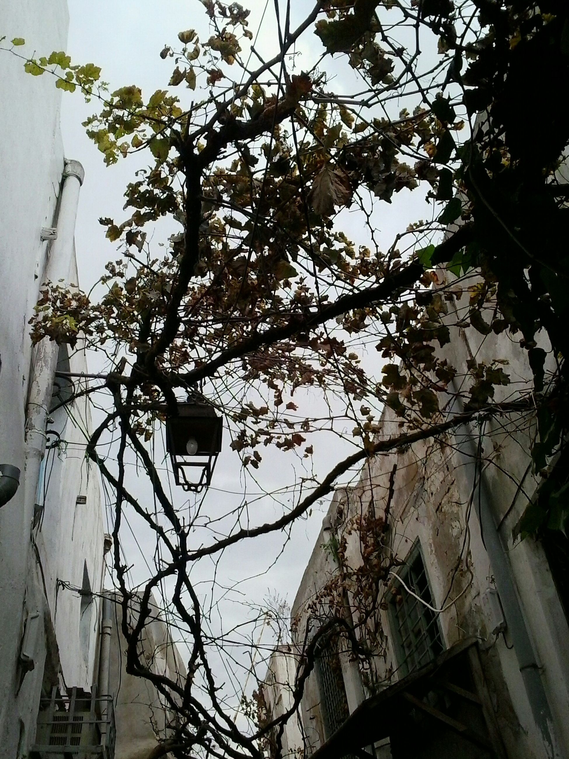 Tunis Coffee Grape Tree Al Inba