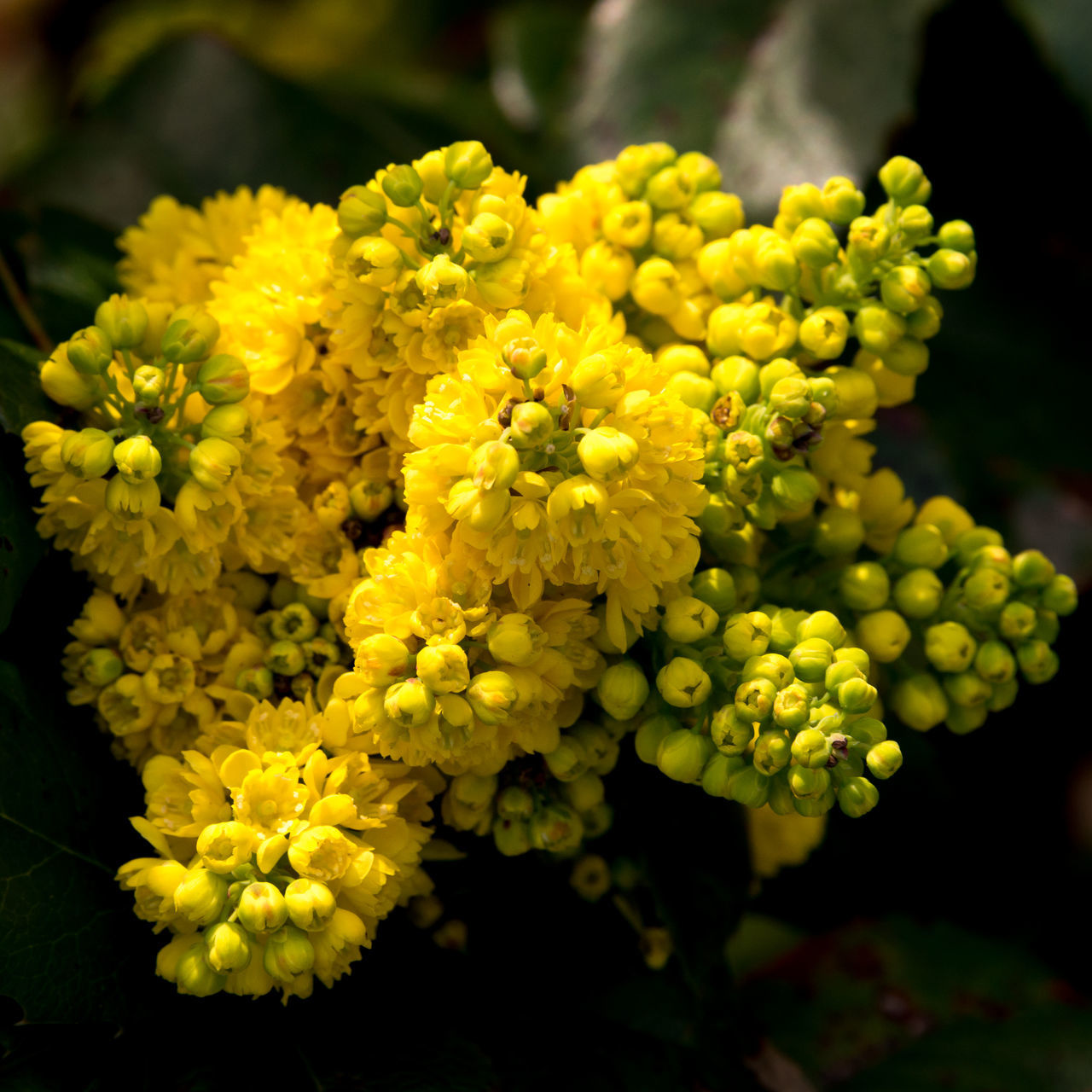 still portrait of my little mahonia Aquifolium Beauty In Nature Biology Blooming Blossom Close-up Common EyeEm Nature Lover Flower Flower Head Fragility Freshness Garden Garden Photography Macro Mahonia Nature No People Petal Portrait Spring Spring Flowers Springtime Still Life Yellow