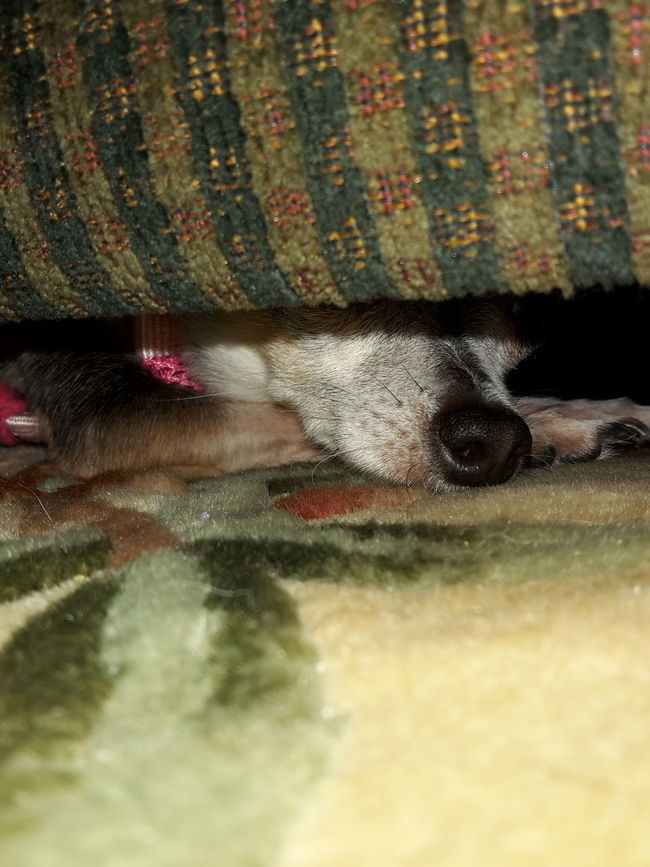 Bella Ra Ra's favorite spot is under the couch. Hiding In Plain Sight Hanging Out Chihuahua Lovers. All Ears Chihuahua Lovers Chihuahua Happy Dogs My Dogs Are Cooler Than Your Kids Chihuahuas<3 Casa De Albatross