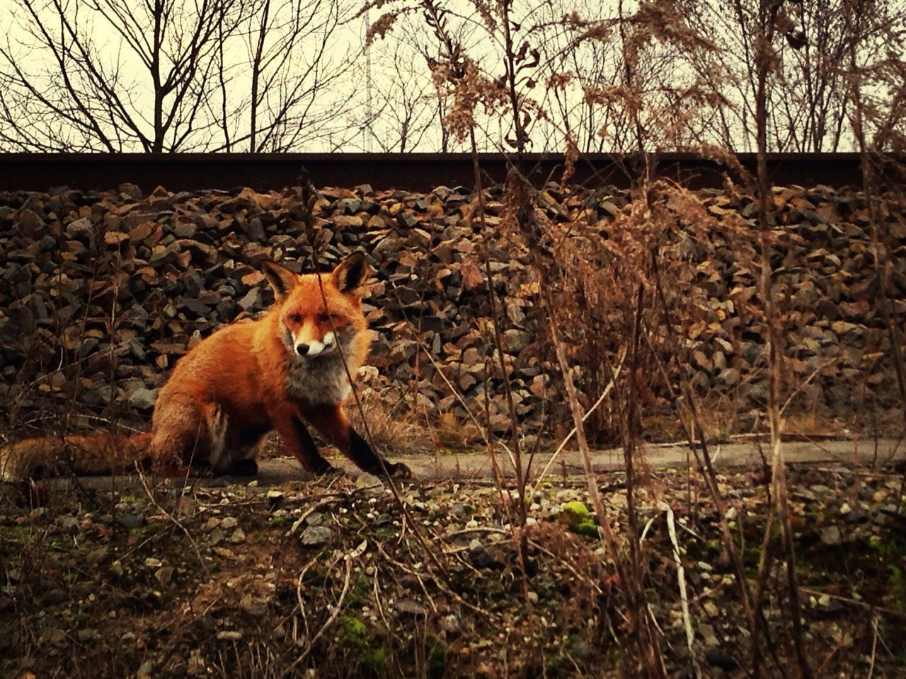 Beautiful stock photos of fox, Animal Themes, Animals In The Wild, Berlin, Dusk