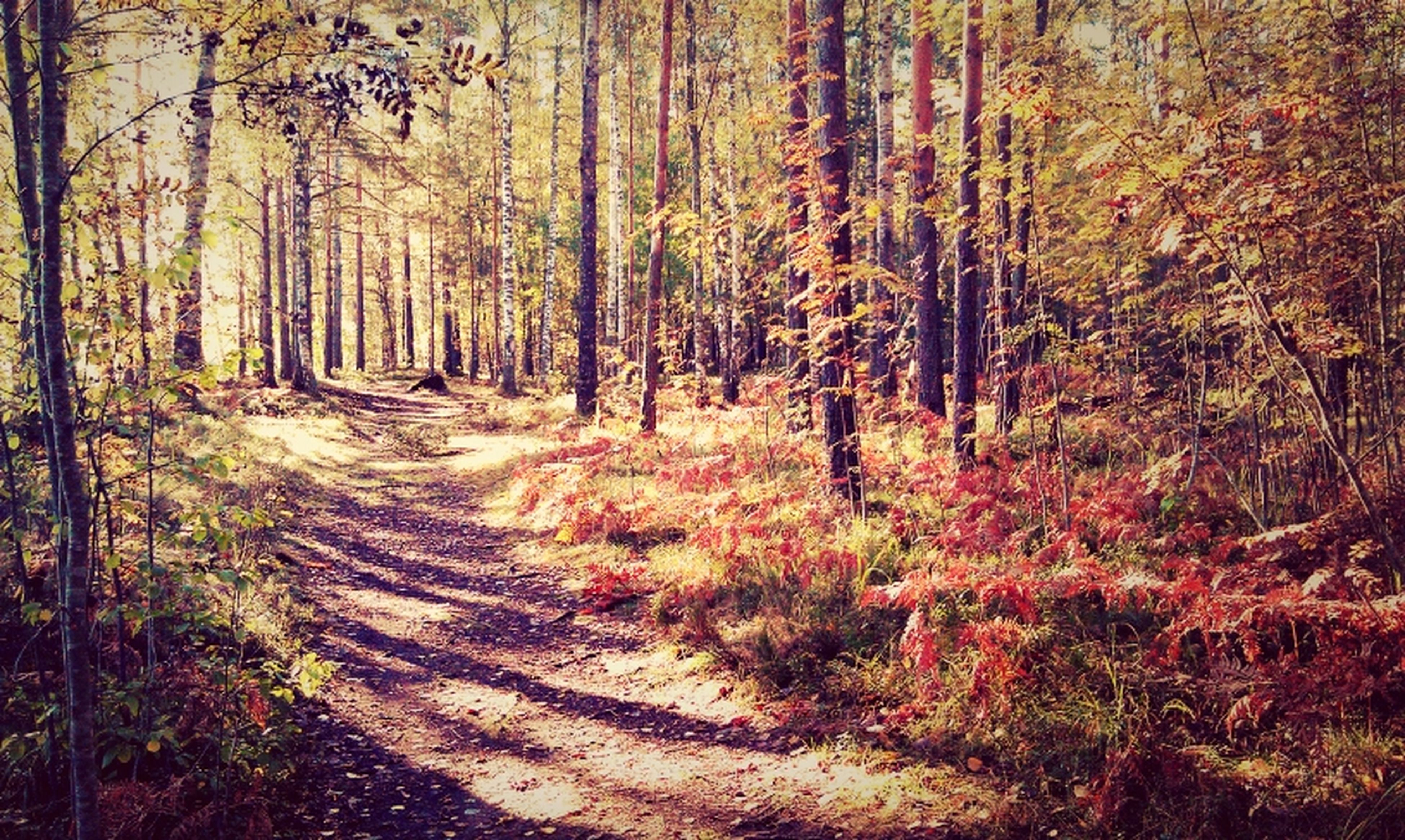 tree, forest, tranquility, tree trunk, tranquil scene, woodland, growth, nature, dirt road, the way forward, beauty in nature, scenics, landscape, non-urban scene, footpath, plant, grass, sunlight, outdoors, day