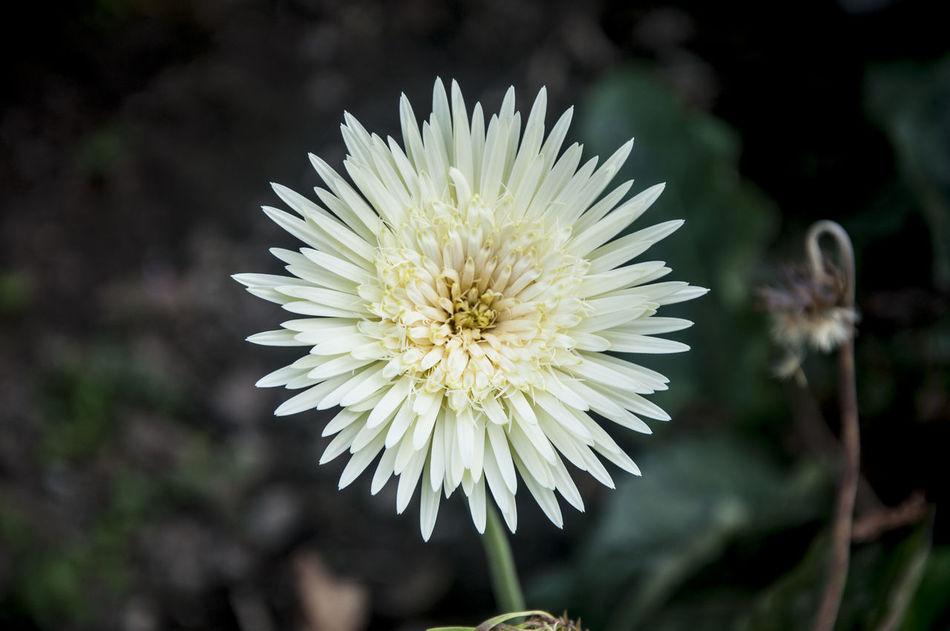 White Daisy Beauty In Nature Flower Flower Head Nature Nature Photography Nature Photography EyeEm Best Shots Philippines White White Flower