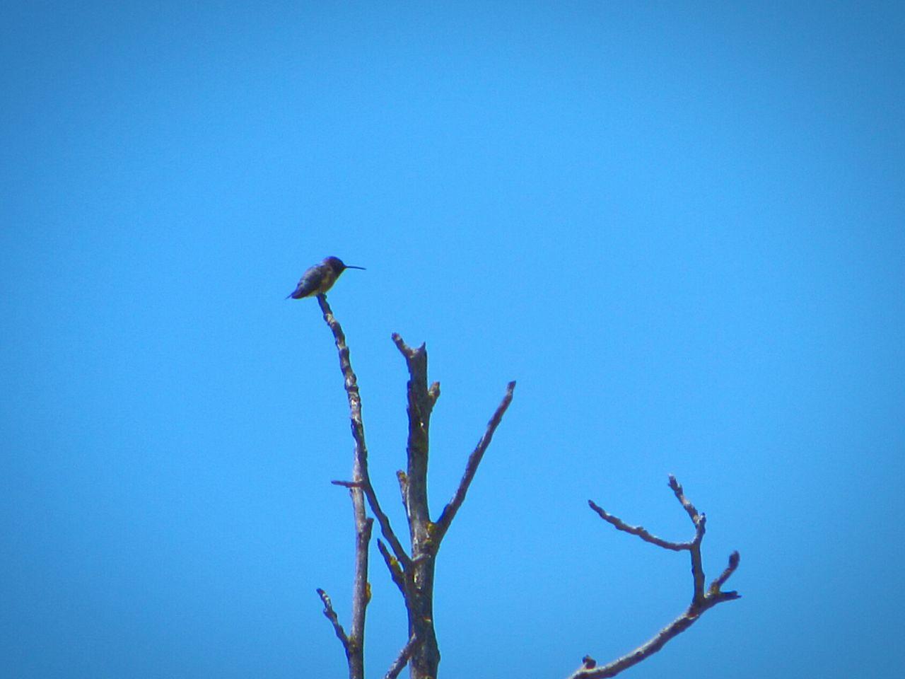 Hummingbird In Tree
