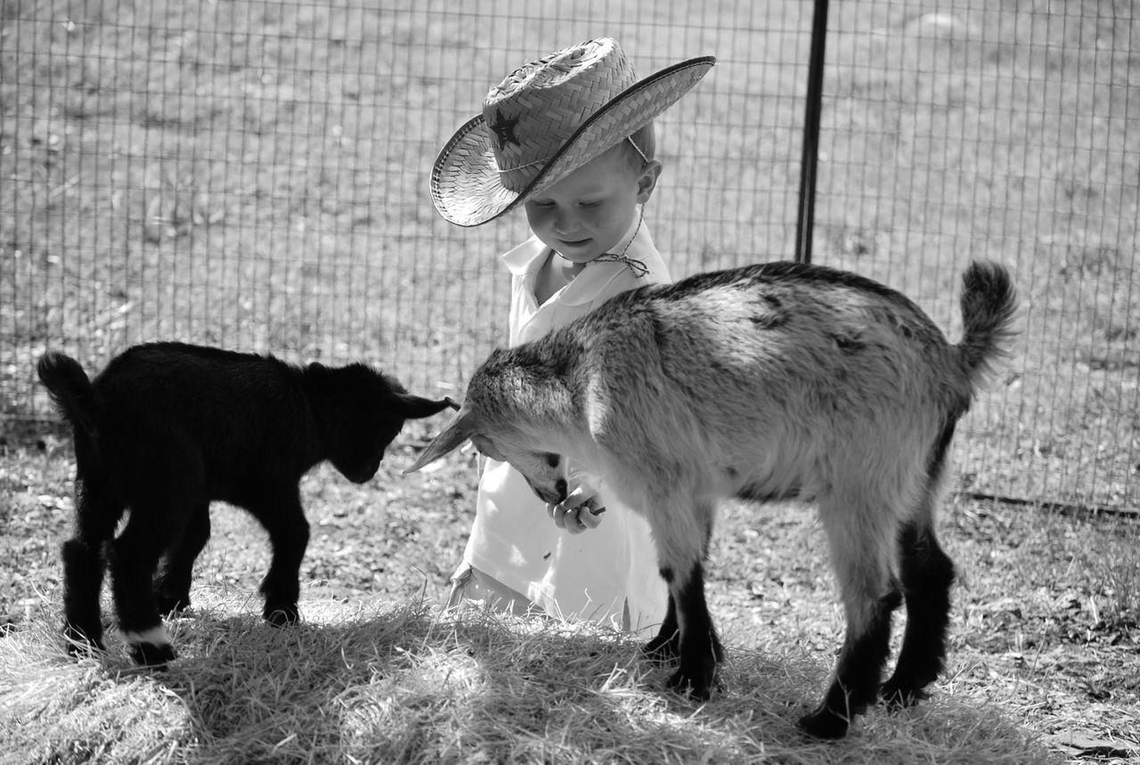 Boy Feeding Lambs On Field
