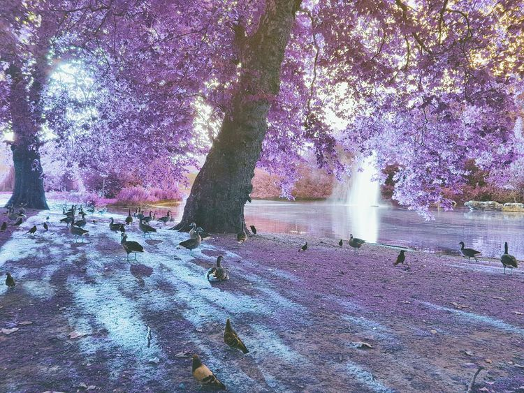 Park Purple Flowers Purple Dreamscape Dreamy Alternative Other World Park Dystopian Futuristic Edited Trees Tree Leaves Sunset Ducks At The Lake Ducks Birds Pigeons Dreamy Editing Painting With Light Light Trail Nature London St James Park