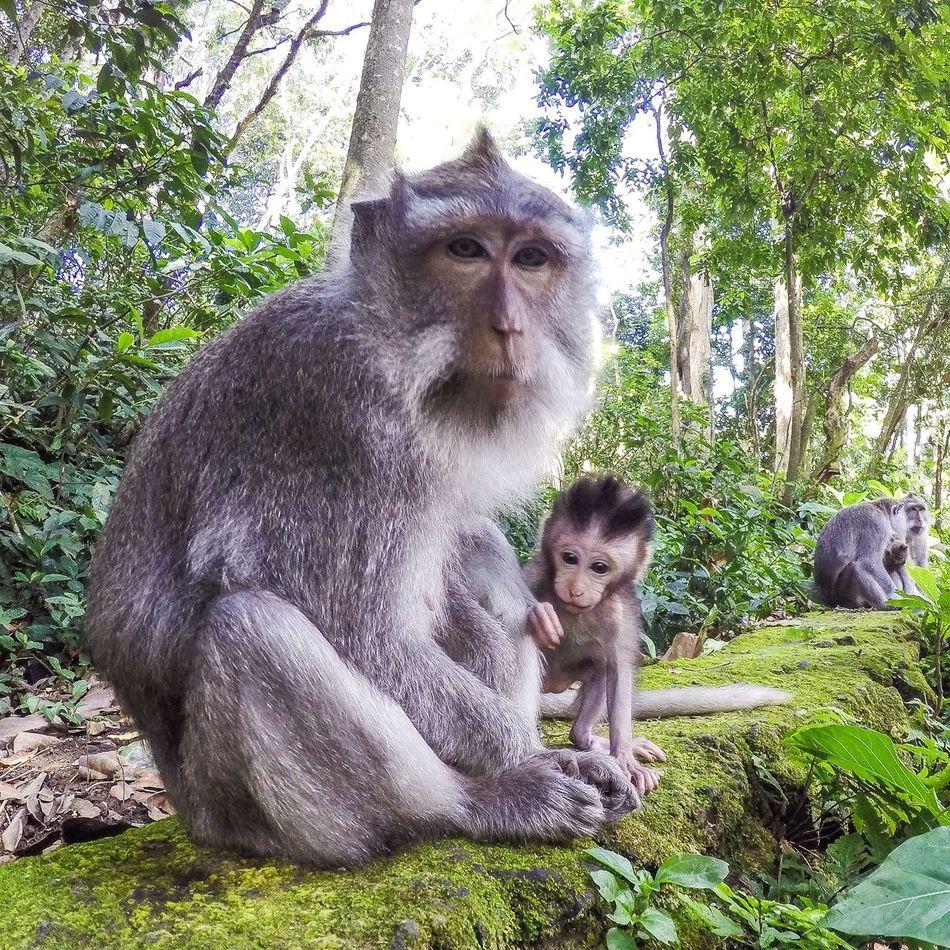 Animal Family Animals In The Wild Baboon Baby Monkey Forest INDONESIA Monkey Primate Ubud Ubud, Bali Wildlife Young Animal