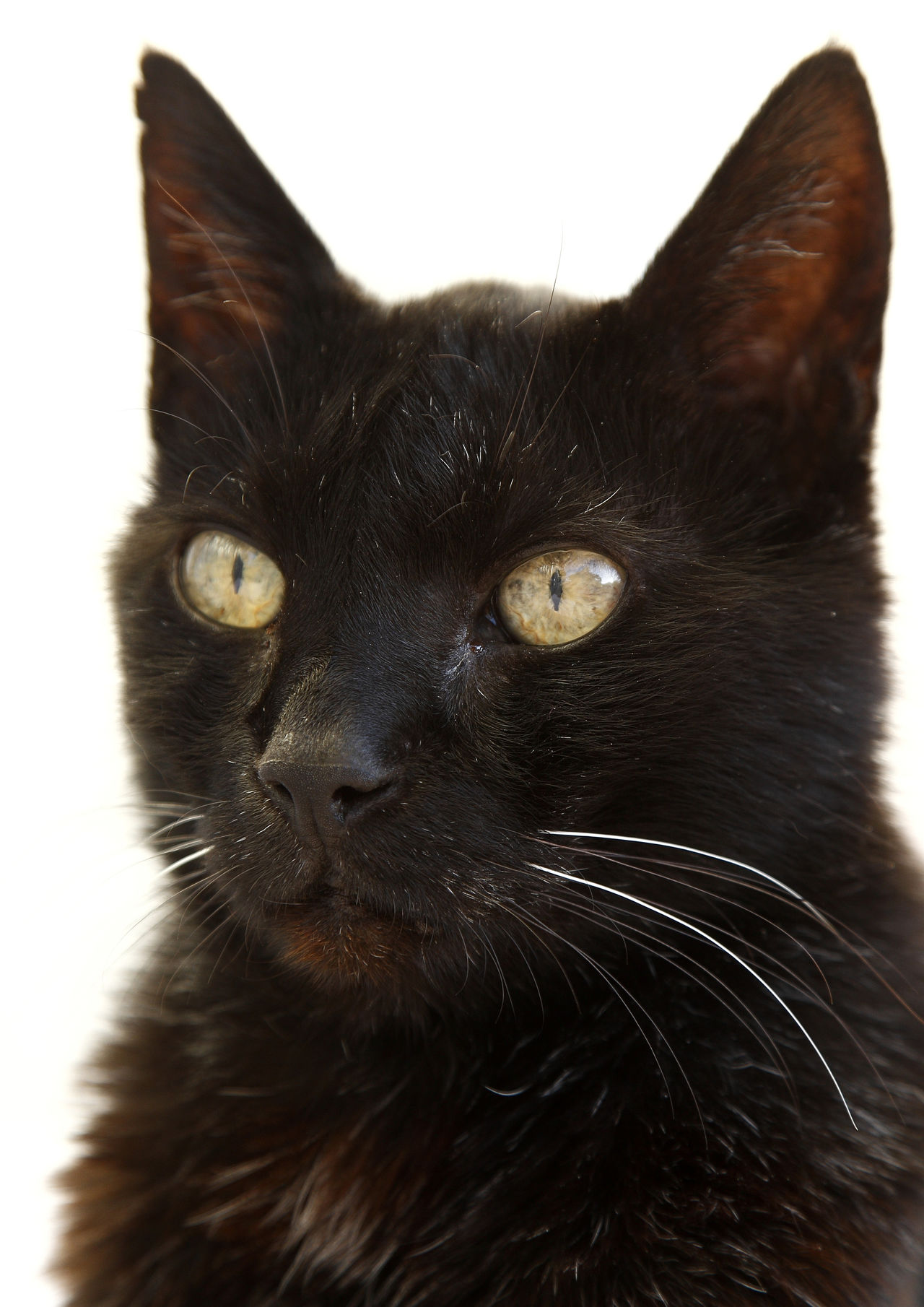 Beautiful black cat sitting and looking sleepy on a white background Animal Themes Black Black Color Blackandwhite BLackCat Close-up Day Domestic Animals Domestic Cat Feline Indoors  Looking At Camera Mammal No People One Animal Pets Portrait Whisker Yellow Eyes