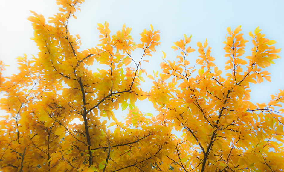 Autumn Autumn Colors Autumn Leaves Autumn🍁🍁🍁 Xperiaphotography XperiaZ5 Mobilephotography Leaves Tree Yellow No People Beauty In Nature Outdoors Day Nature Sky Tree Branch