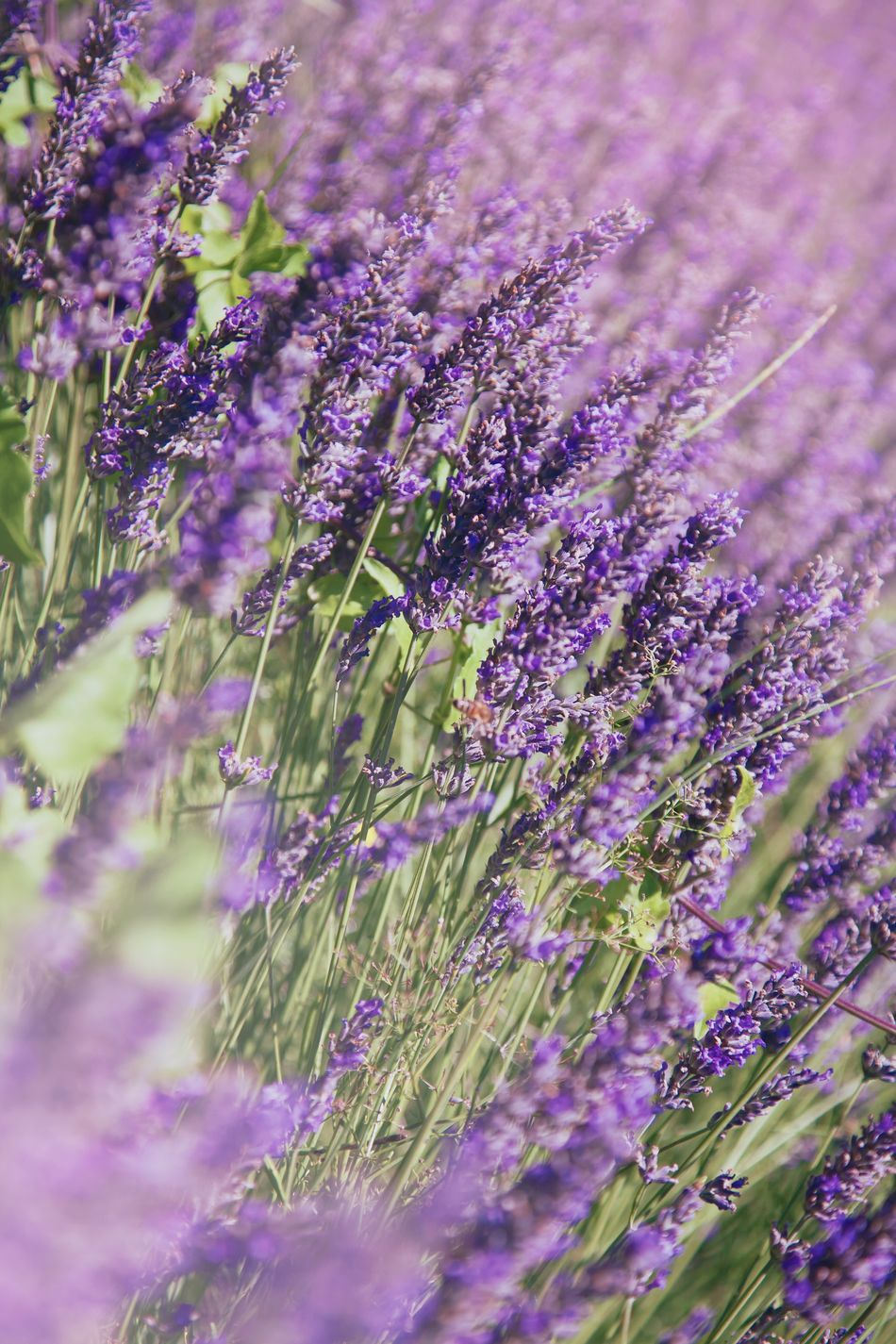 Lavender Flower Growth Nature Beauty In Nature Full Frame Purple Field Plant No People Fragility Freshness Close-up Outdoors Backgrounds Day Flower Head Flowers France Drôme Provence Summer Summertime Perfume Scenics