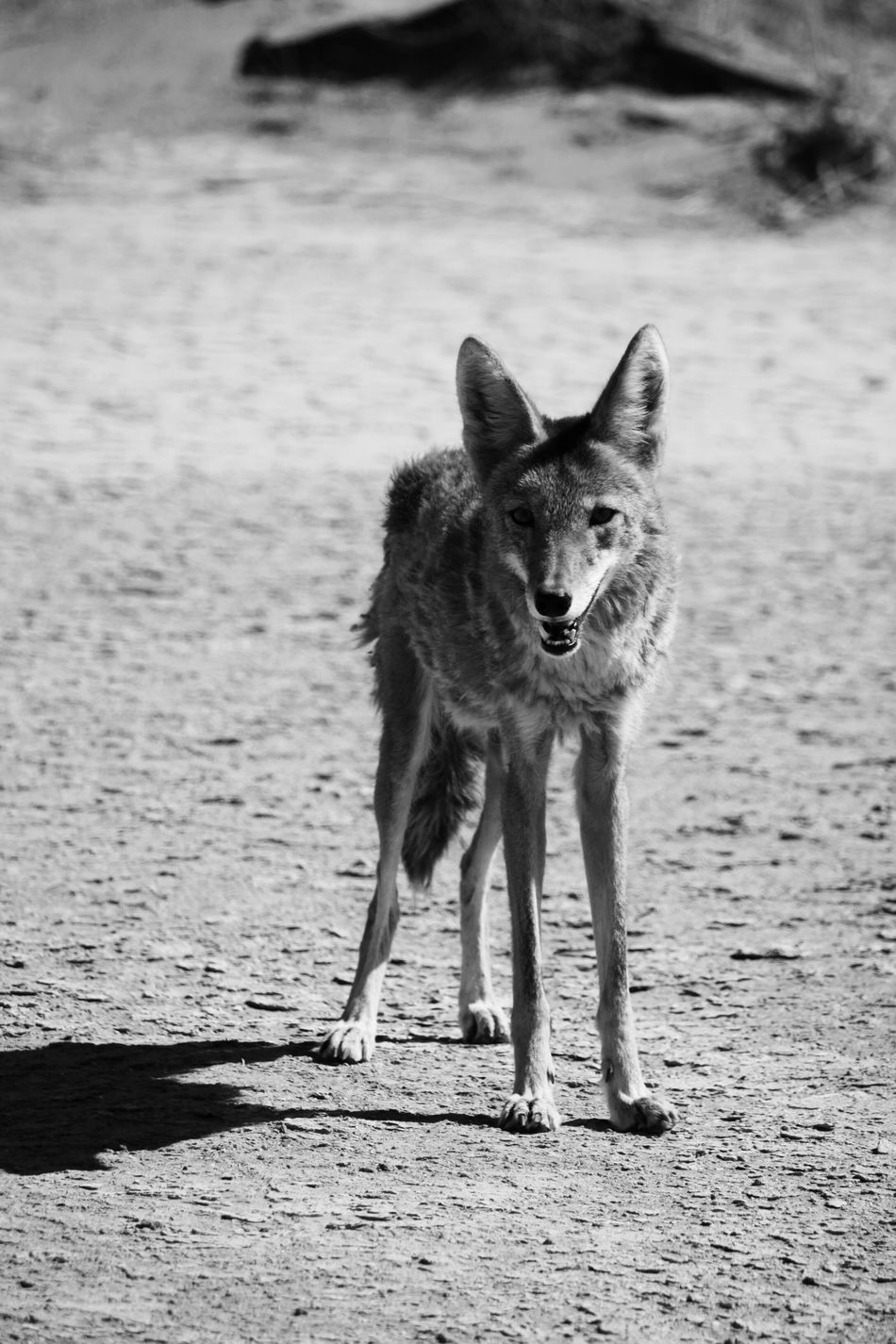 Beautiful stock photos of coyote,  Animal Themes,  Animals In The Wild,  Arid Climate,  Black And White