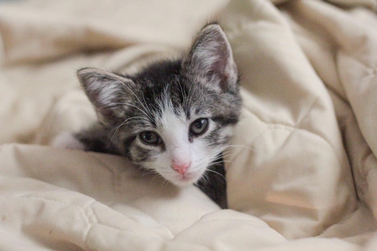 Beautiful stock photos of baby katzen,  Animal Themes,  Blanket,  Close-Up,  Comfortable