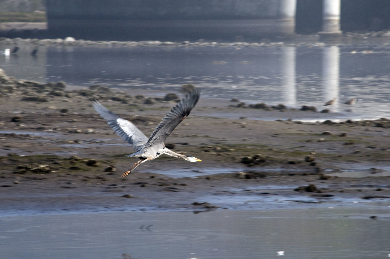 Blue Heron taking off from Malibu Lagoon Animal Themes Animal Wildlife Animals In The Wild Beach Bird Blue Heron Blue Heron Bird Day Flying Heron Nature No People One Animal Outdoors Sea Sea Bird Spread Wings Water