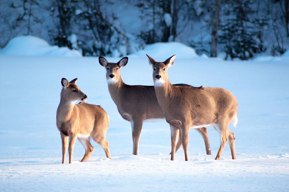 Animal Animal Themes Animals In The Wild Day Deer Deer Doe Fawn Full Length Mammal No People One Animal Relaxation Relaxing Showcase February Side View Snow Standing Three Animals Three Deer Togetherness White Tailed Deer Wildlife Winter Zoology Market Bestsellers May 2016 Bestsellers