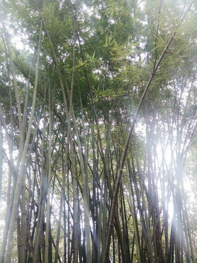 Bambus Forest Thailand
