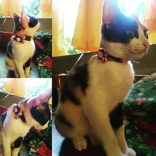 My ATLAS on her new collar. Pinkcollar Perrysons AmericanBobtailCrossBreed Calico FelineDomesticus Atlas