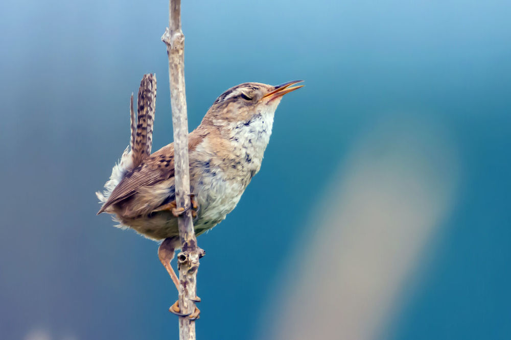 Tiny Marsh Wren Singing away on a branch photo Series Adorable Animal Themes Animal Wildlife Animals In The Wild Bird Bird Photography Bird Watching Birds And Branches Birds Of EyeEm  Birds_collection Birdwatching Blue Background Close-up Day Marsh Wetland Resources Marsh Wren No People One Animal Outdoors Patterns In Nature Perching Photo Series Singing Small Wren