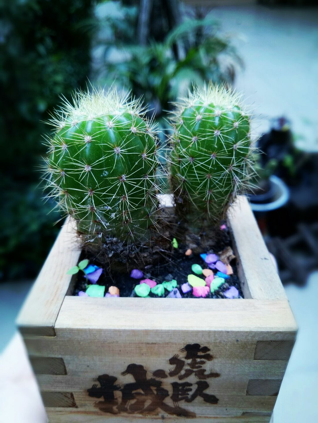 Plant Nature Growth Green Color No People Close-up Fragility DayBeauty In Nature Outdoors Flower Freshness ต้นกระบองเพชร