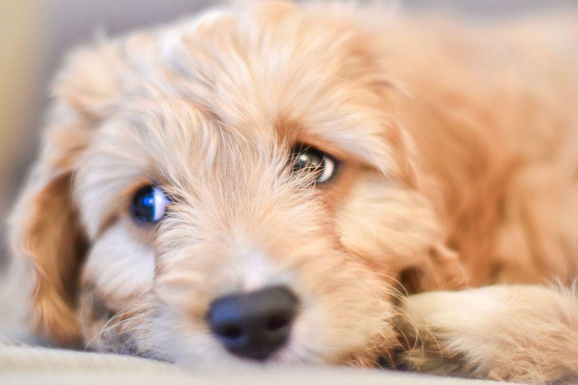 Little pup Pets Dog Close-up Animal Themes Domestic Animals Indoors  Pet Photography  Pets Corner Dogs Dog Love Dogs Of EyeEm Puppy Puppy Love Cavapoo Sleeping Sleepy