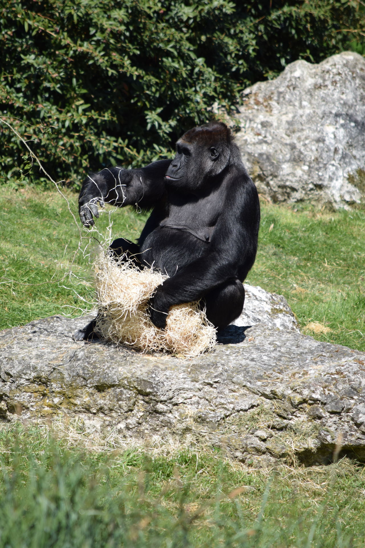 gorilla Animal Themes Animal Wildlife Animals In The Wild Beauval Day Female Field Gorilla Gorille Grass Green Male Mammal Monkey Nature No People One Animal Outdoors Power Primate Rock - Object Sitting Strong Water Zoo